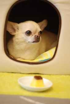 animal canine chihuahua cute